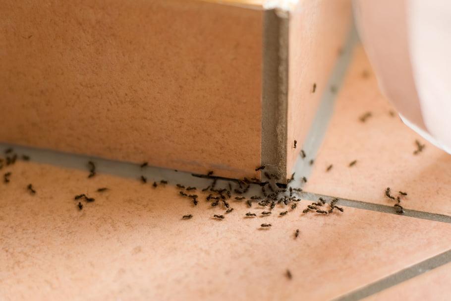 insectes envahisseurs