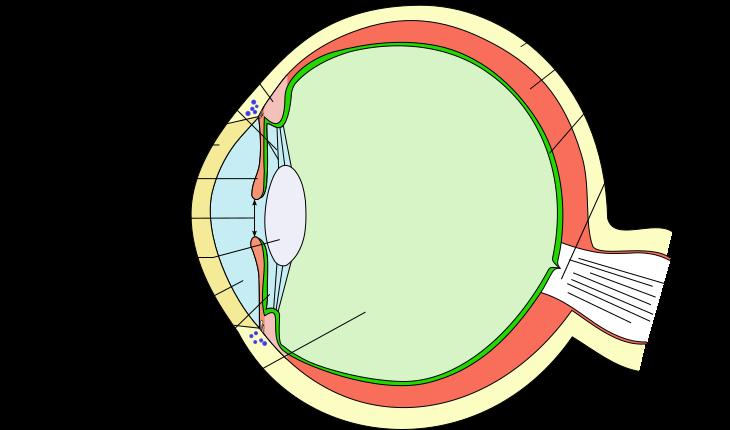 schéma œil humain